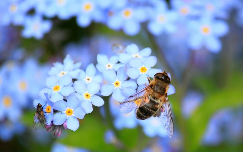 forget me not, hoverfly, fly